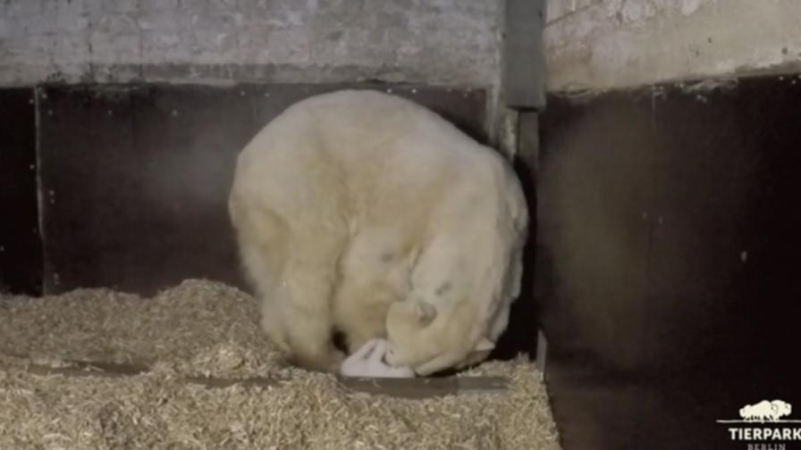 Първите стъпки на полярно мече (видео)