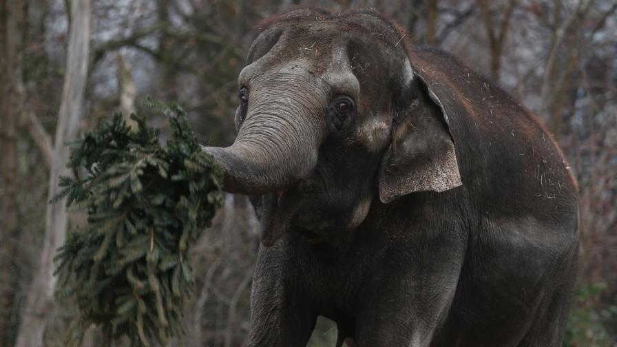 Празнично угощение за слоновете в зоопарка в Берлин