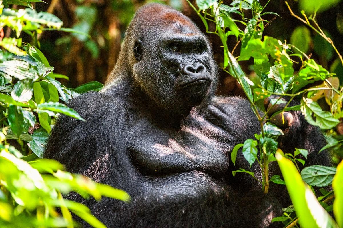 Западна планинска горила