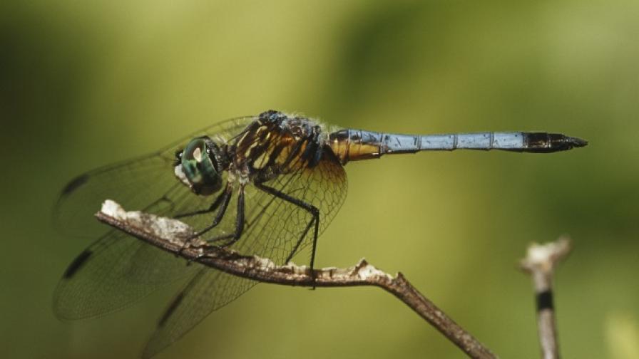Водните кончета разкъсват бактериите с крилата си