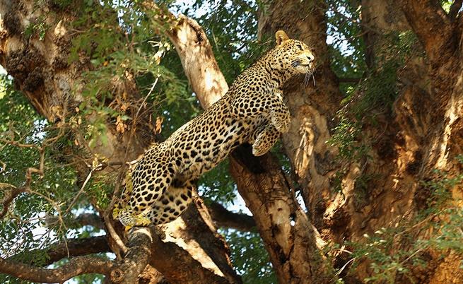 Една история от дебрите на Африка, завършила с двубой между човек и леопард