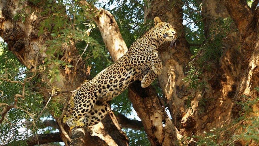 Да убиеш леопард с голи ръце