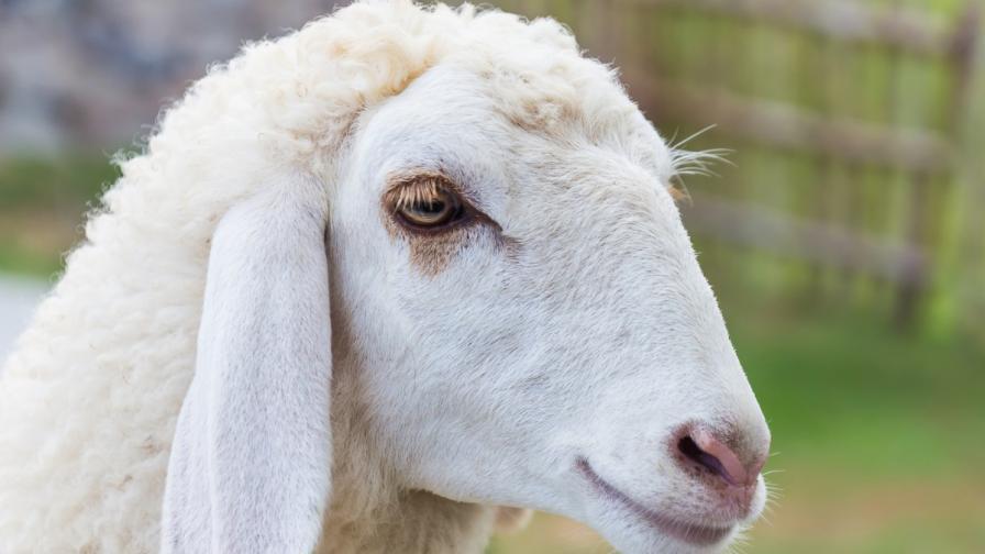 Учени доказаха, че овцете разпознават човешки лица
