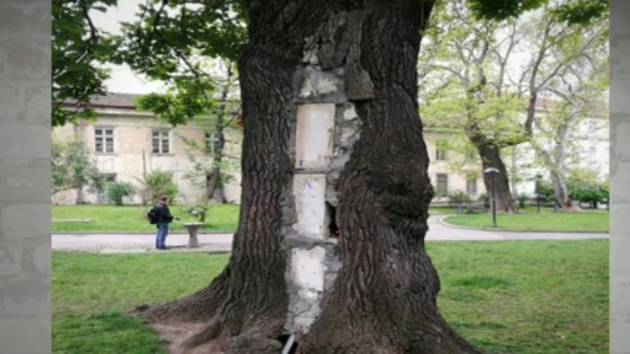 Пълен абсурд: Бетонират дървета в София