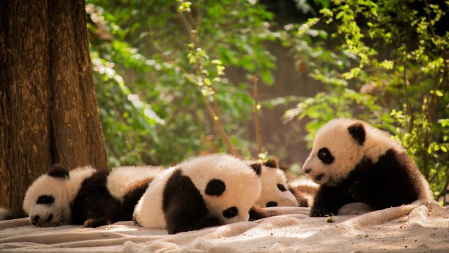 Бебета панди в битка за свобода (видео)