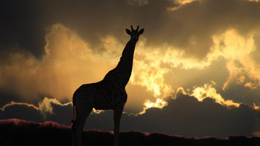 По-уязвими ли са жирафите към удари от мълния
