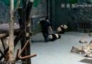 В Китай влачат бебета панди, хората са възмутени и бесни