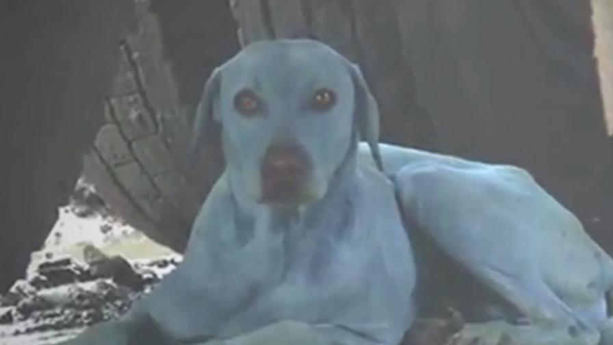 Сини кучета се появиха в Индия