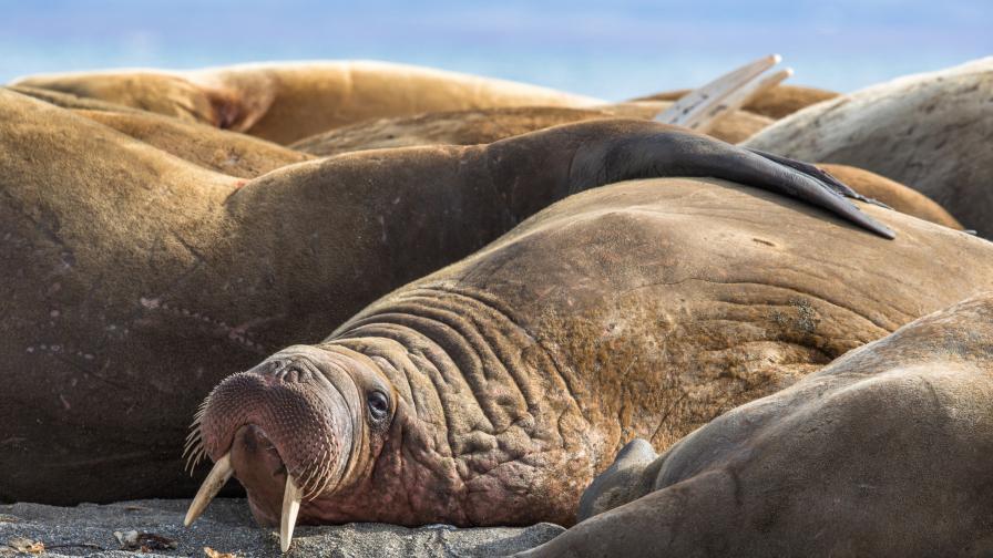 Десетки моржове смазани при паническо бягство в Аляска