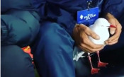 Чайка пострада на мач в Австралия