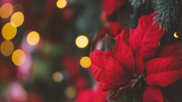 Днес е денят на цветето Коледна звезда