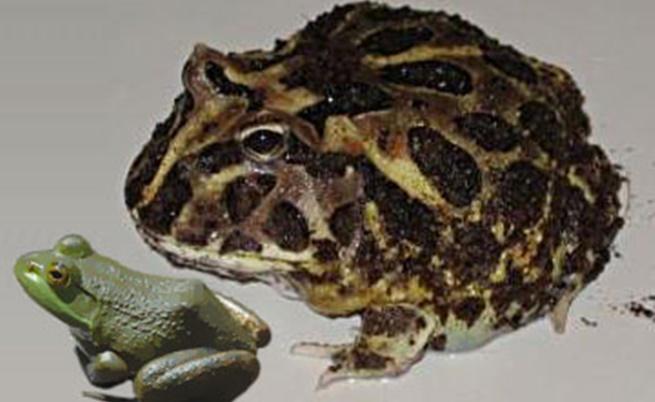 Дяволската жаба в сравнение с обикновените жаби днес
