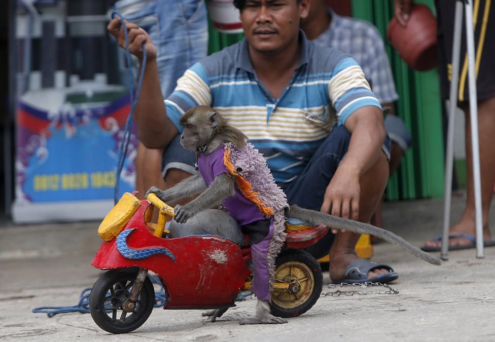 - Уличните представления на маймуни е популярна форма на евтини развлечения в Индонезия, особено на остров Ява. По време на представлението на улица...