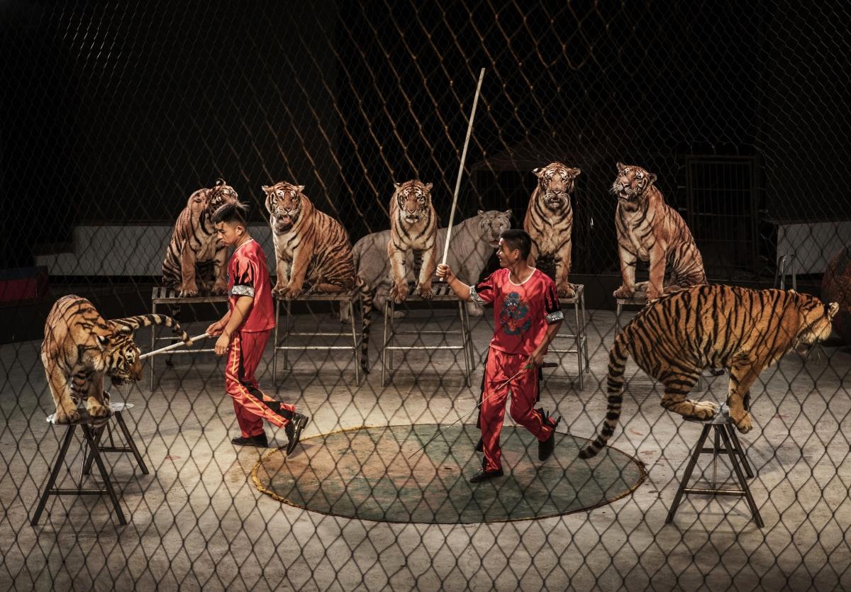 Тези животни вече няма да се изявяват в цирковете в Англия. Страната забранява дресираните четириноги артисти ор т 2020 година.