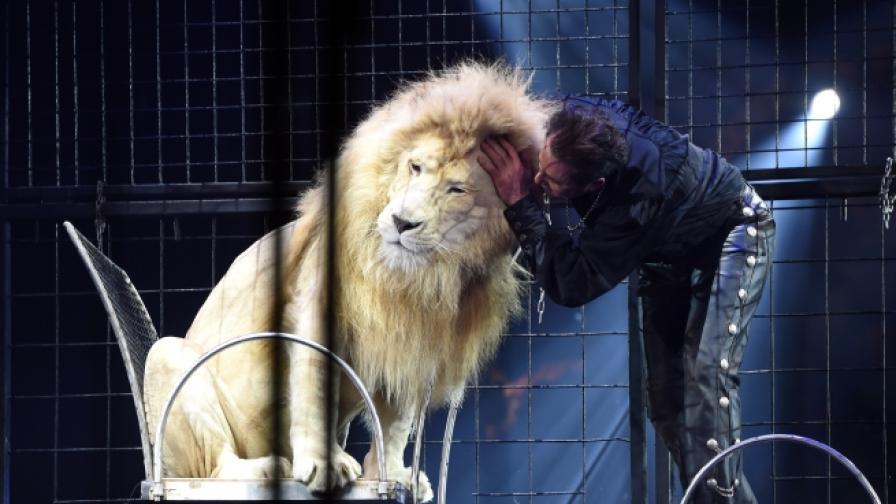 Този лъв ще трябва да забрави за изяви пред кралицата.