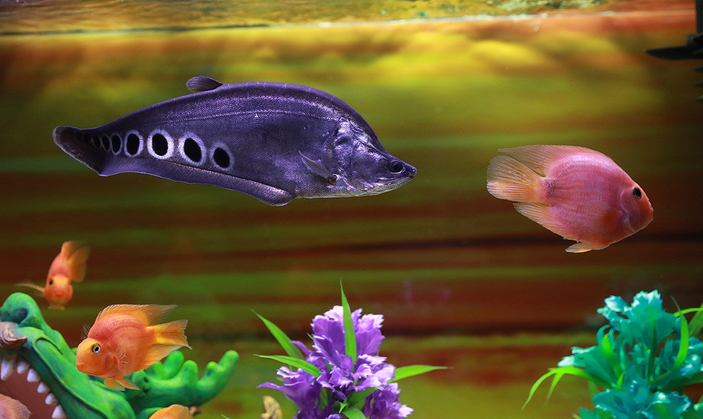Нотоптерус чилата и риба Папагал
