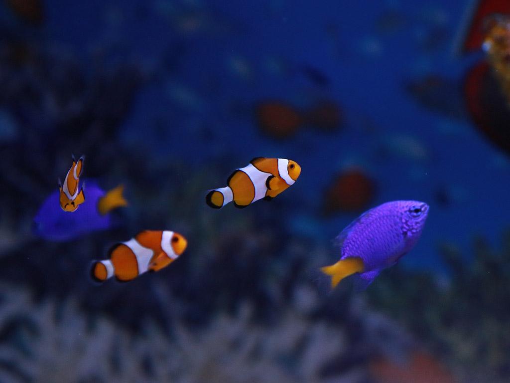 Риба Клоун и Жълтоопашат син дамсел