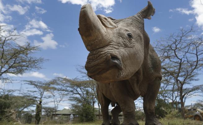 Научна революция: създадоха ембриони на изчезващ вид носорози