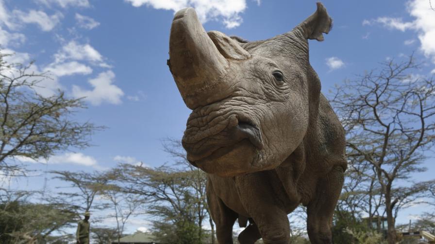 Северният бял носорог Судан