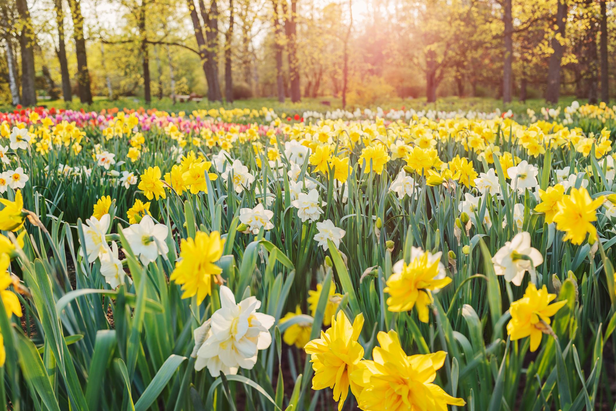 25. Появата на първите нарциси през пролетта