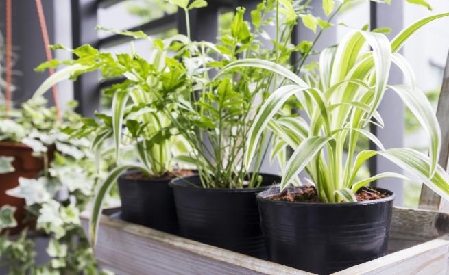 Растения, полезни за въздуха у дома (СНИМКИ)