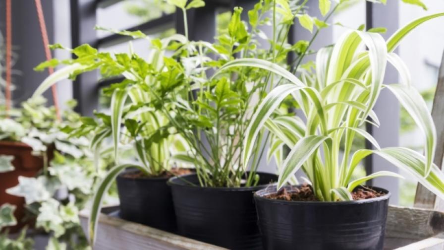 Хлорофитумът е полезен за дома