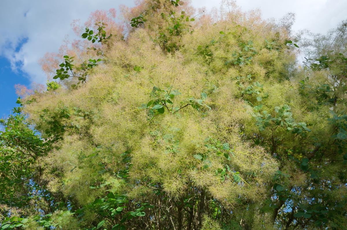 Смрадлика, известна още като храст тетра.