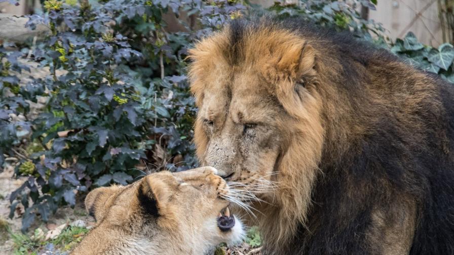 Предупредиха в Германия: Не излизайте! Лъвове и тигри
