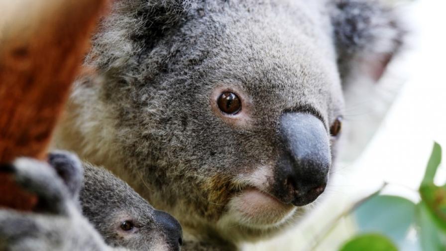 "Австралия: коала ""танцува"" на пилон"