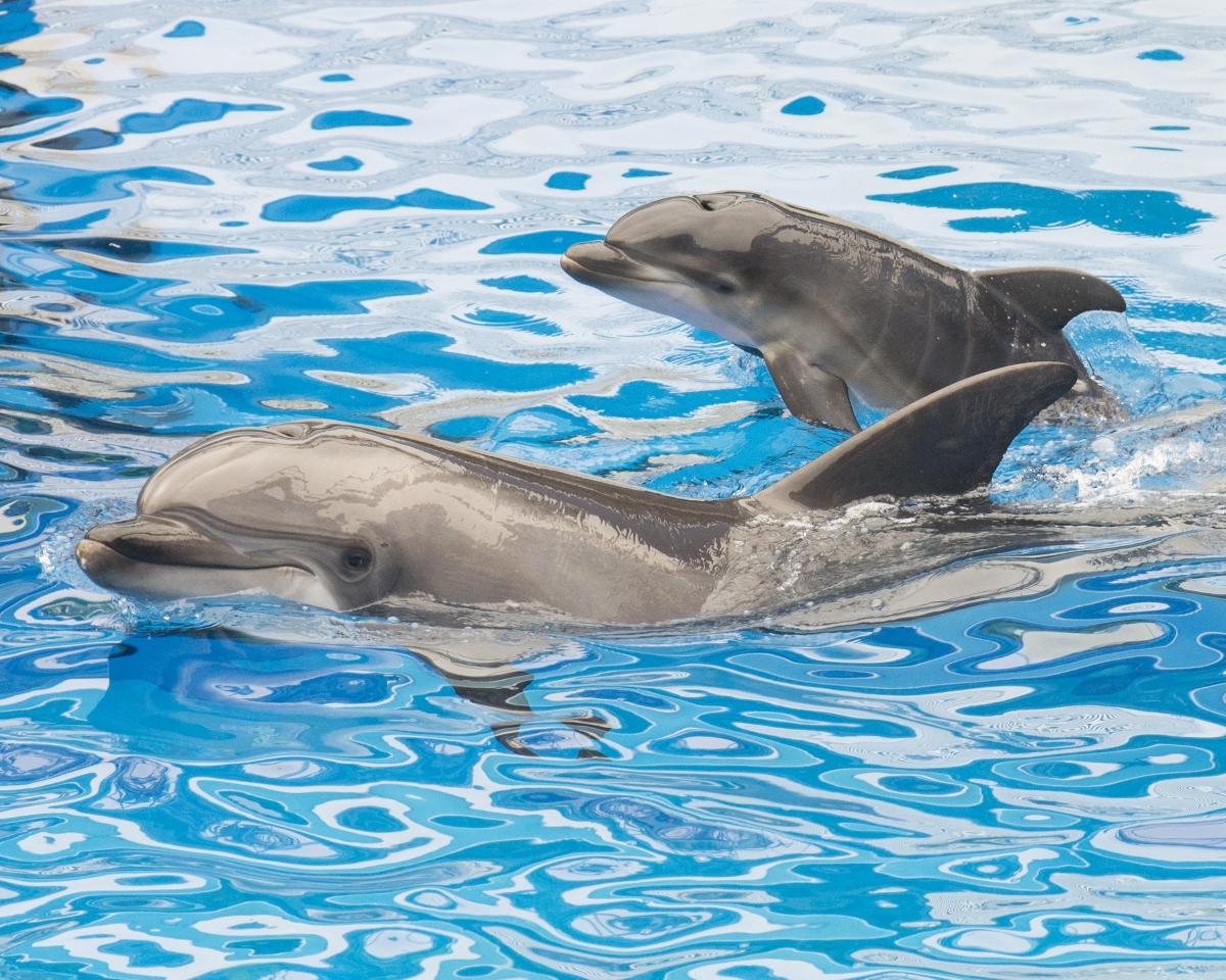 Нашите приятелчета делфините са известни с това, че правят секс за удоволствие. Правят го както с противоположния, така и с техния пол. Както обичат да мастурбрат.