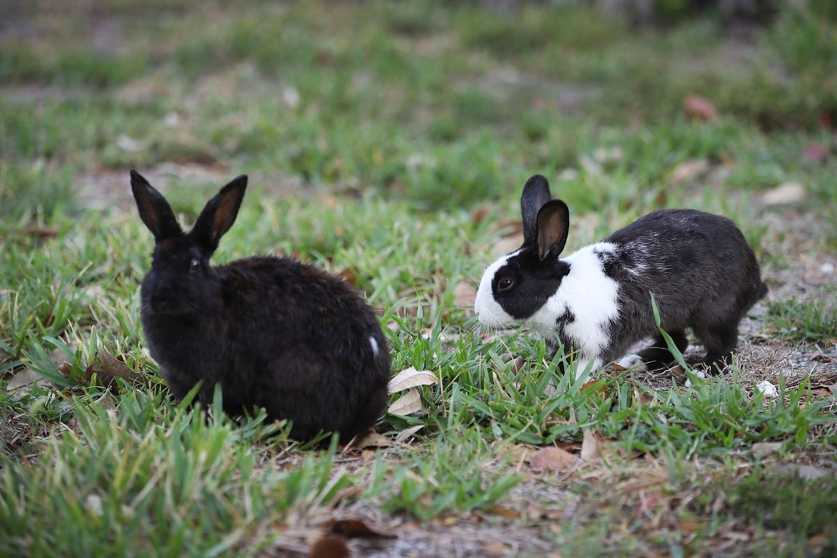Актът при зайците продължава между 20 и 40 секунди. За сметка на това те могат да го правят непрекъснато.