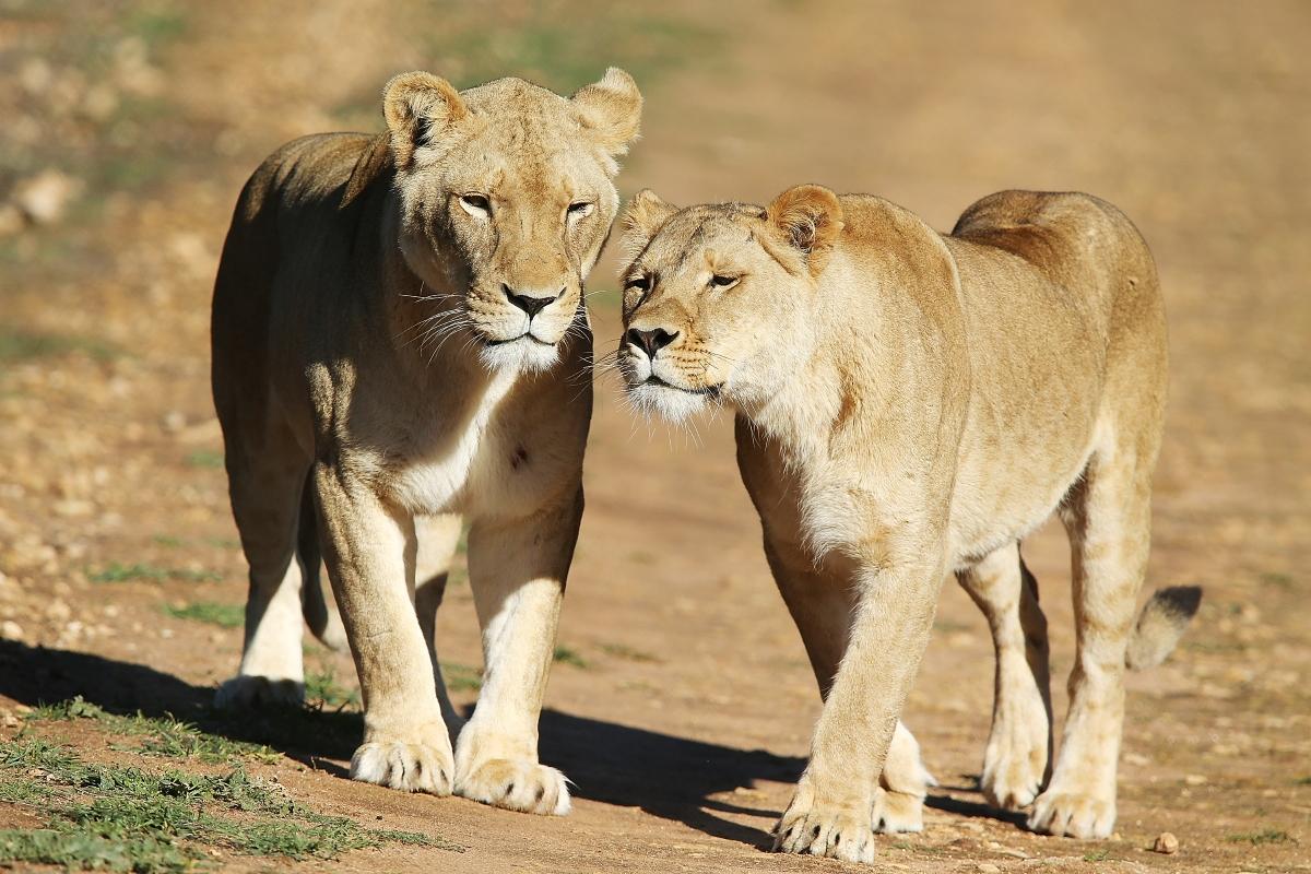 Лъвиците могат да правят секс по 50 пъти на ден.