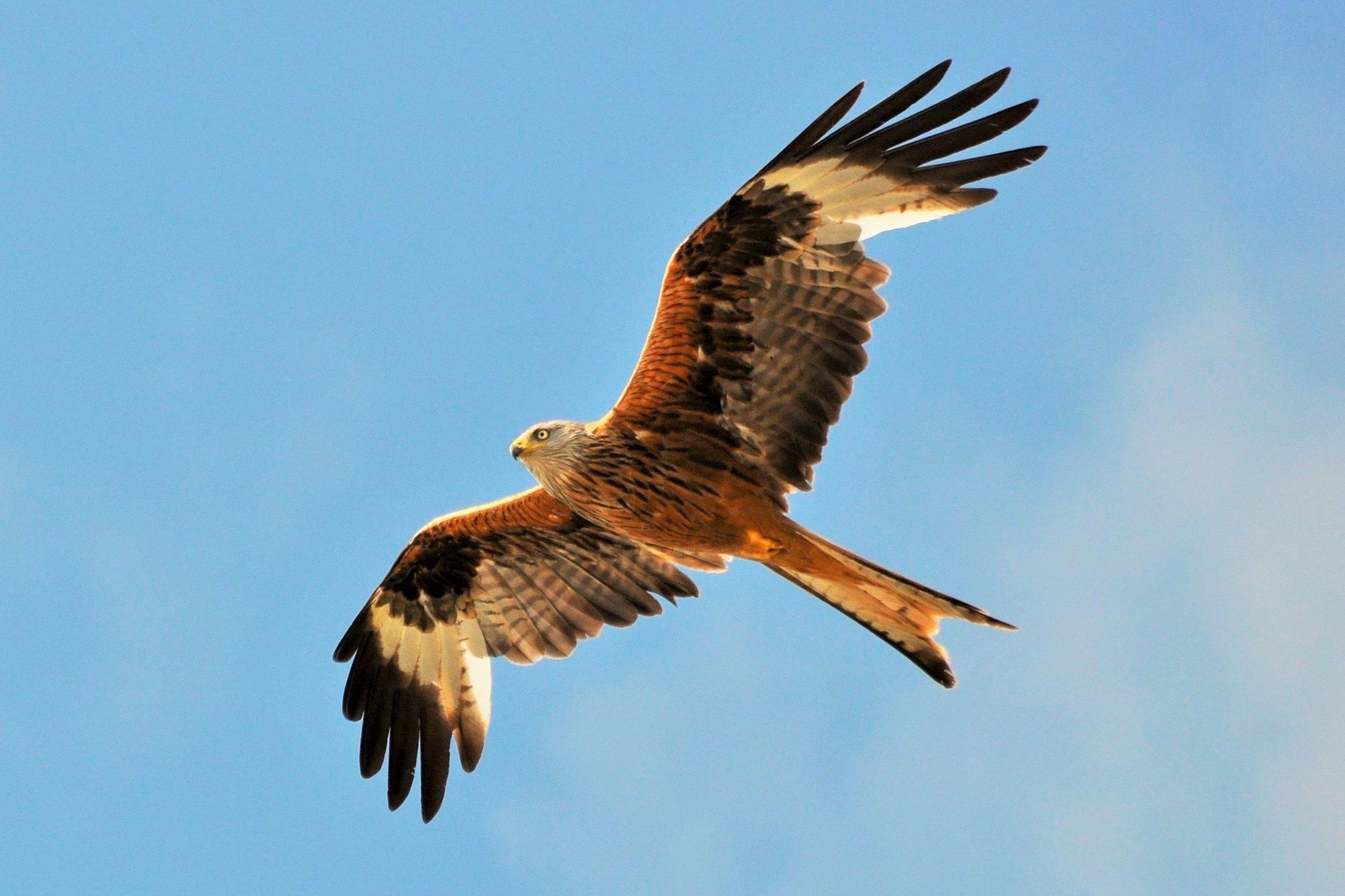 Червена каня, Великобритания<br /> <br /> Наистина е внушително да видите птица, с размах на крилете почти 2 метра, да кръжи над супермаркетите или да ловува сред високите жилищни сгради. Червената каня се храни с мърша, а по магистралите и големите пътища често умира различни животни. Както всяко животно, което успее да живее сред хората, така и за червената каня някои смятат, че е вредител.