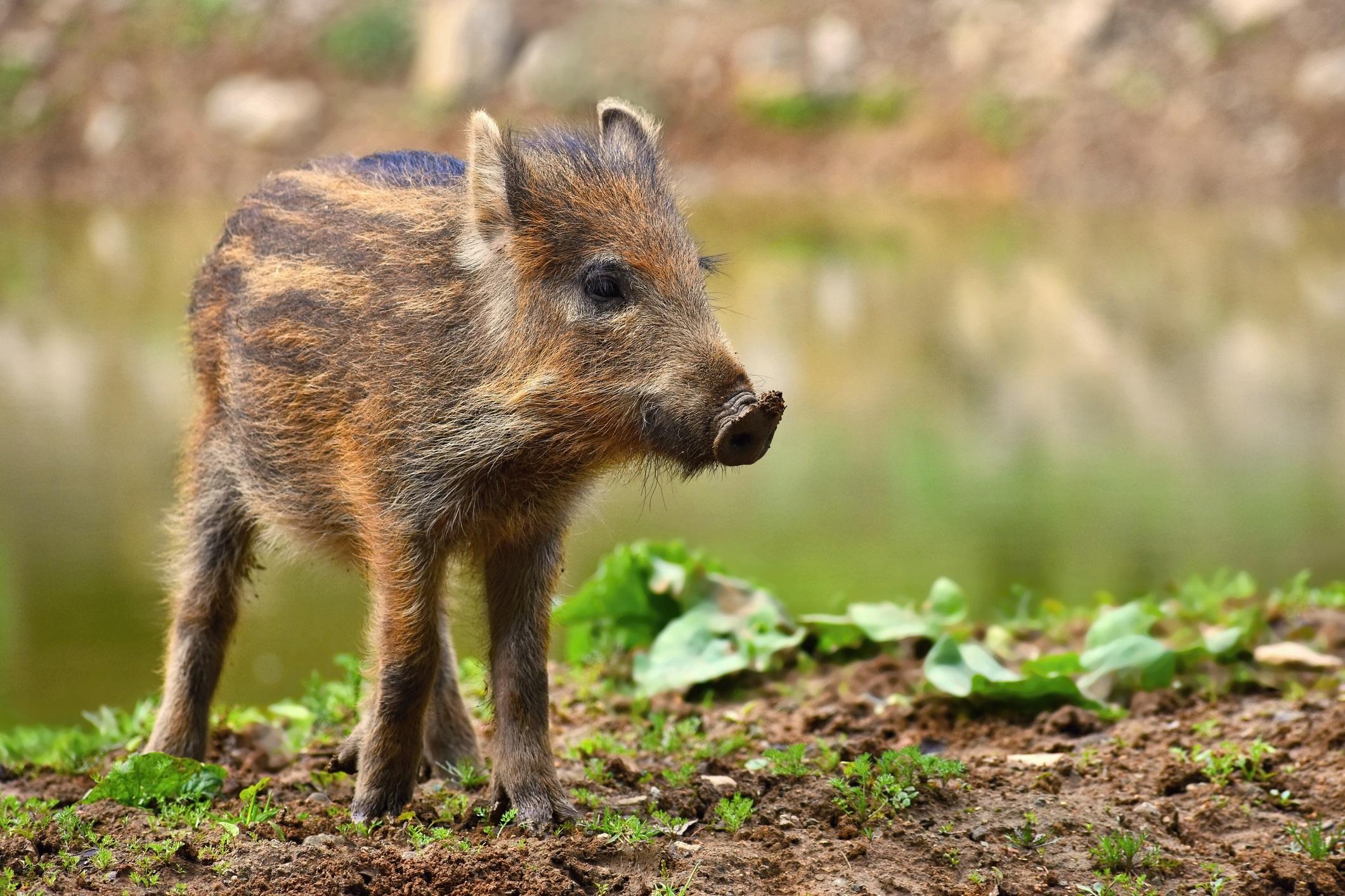 Заради пътни инциденти, групи, които спират влак и съобщения за инциденти с кучета и хора, екологична група в града ежедневно получава повиквания, свързани с дивите свине. Един човек има разрешително да убива прасета в града, но тъй като има ограничения в лова, а и тези животни не са естествени хищници, дивите свине са тук, за да останат.