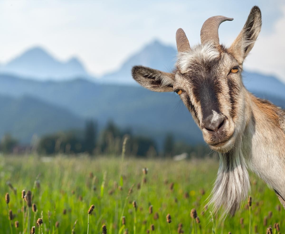 Руанда. Жените нямат право да ядат козе месо, защото може да им пораснат косми по лицето и по-лошото: да станат много упорити.