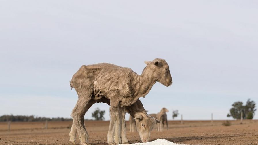 Фермерите в Австралия са принудени да убиват кенгура