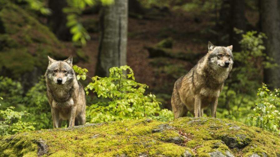 Историята на човека, отгледан от вълци (ВИДЕО)