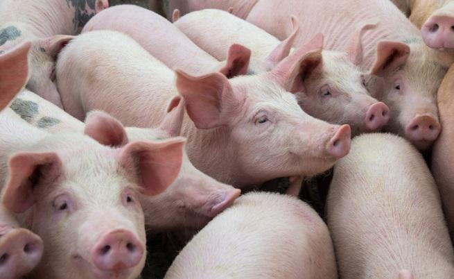 Откриха незаконна ферма за прасета, обсъжда се стратегия за справяне с чумата