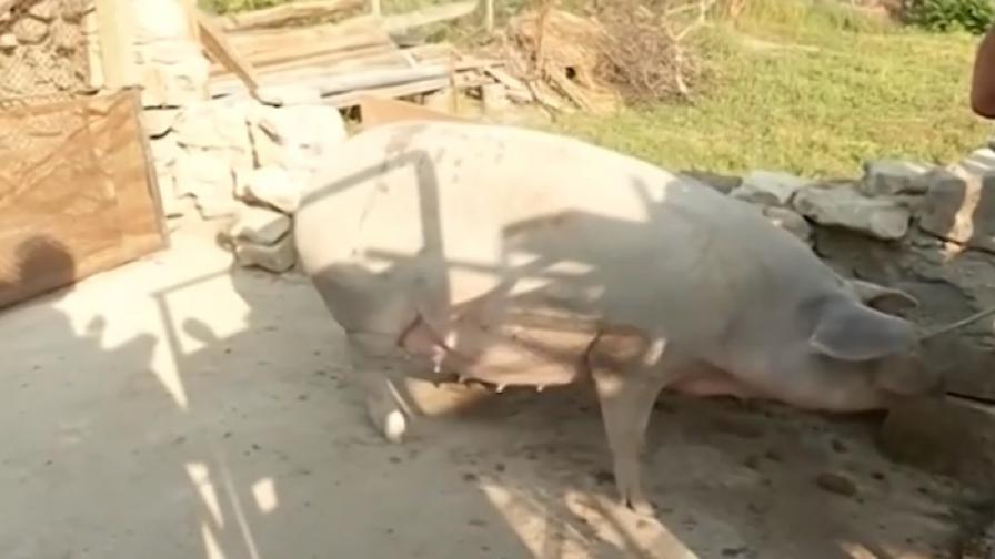 Евтанизират свине заради чума. Порожанов: Ще има обезщетения