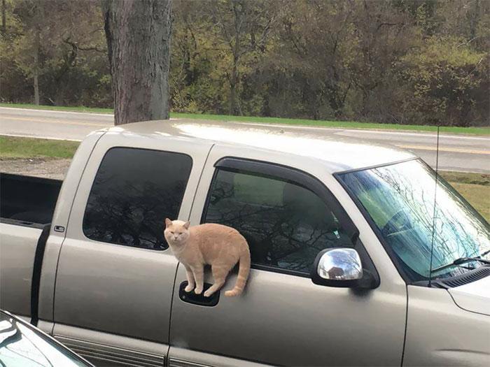 Тази котка може да се вози навсякъде, буквално – още едно доказателство за невероятното чувство за равновесие на тези домашни любимци.