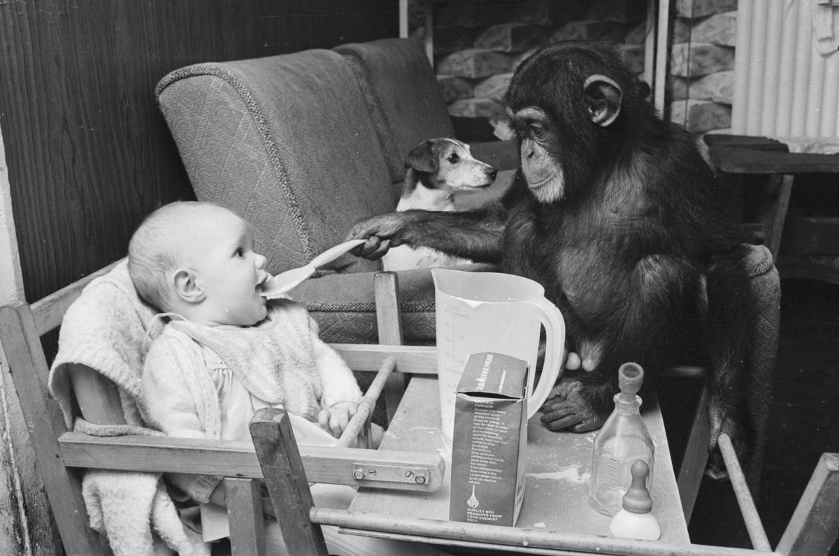 """В началото на миналия век съществувала налудничава теория, че е възможно да научиш шимпанзе да говори. За да я докаже, психологът Келог осиновява женското шимпанзе Гуа и започва да го отглежда с почти новородения си син. Не само, че година по-късно Гуа не се научила да говори, а синът на учения – Доналд напълно започнал да копира поведението на """"сестра"""" си, като на година и половина е знаел само три думи. Експериментът, както се досещате, е бил прекратен."""