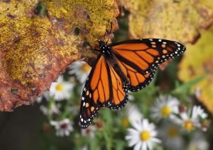 Пеперудата монарх също мигрира