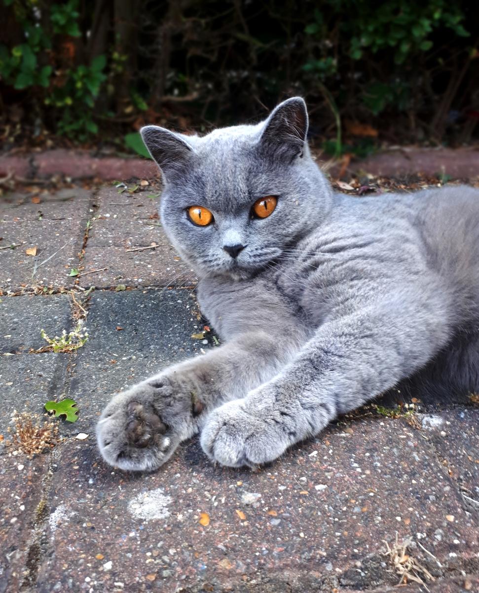 Британската домашна котка е много популярна порода. Тези плюшени котенца не могат да търпят, когато ги прегръщат.