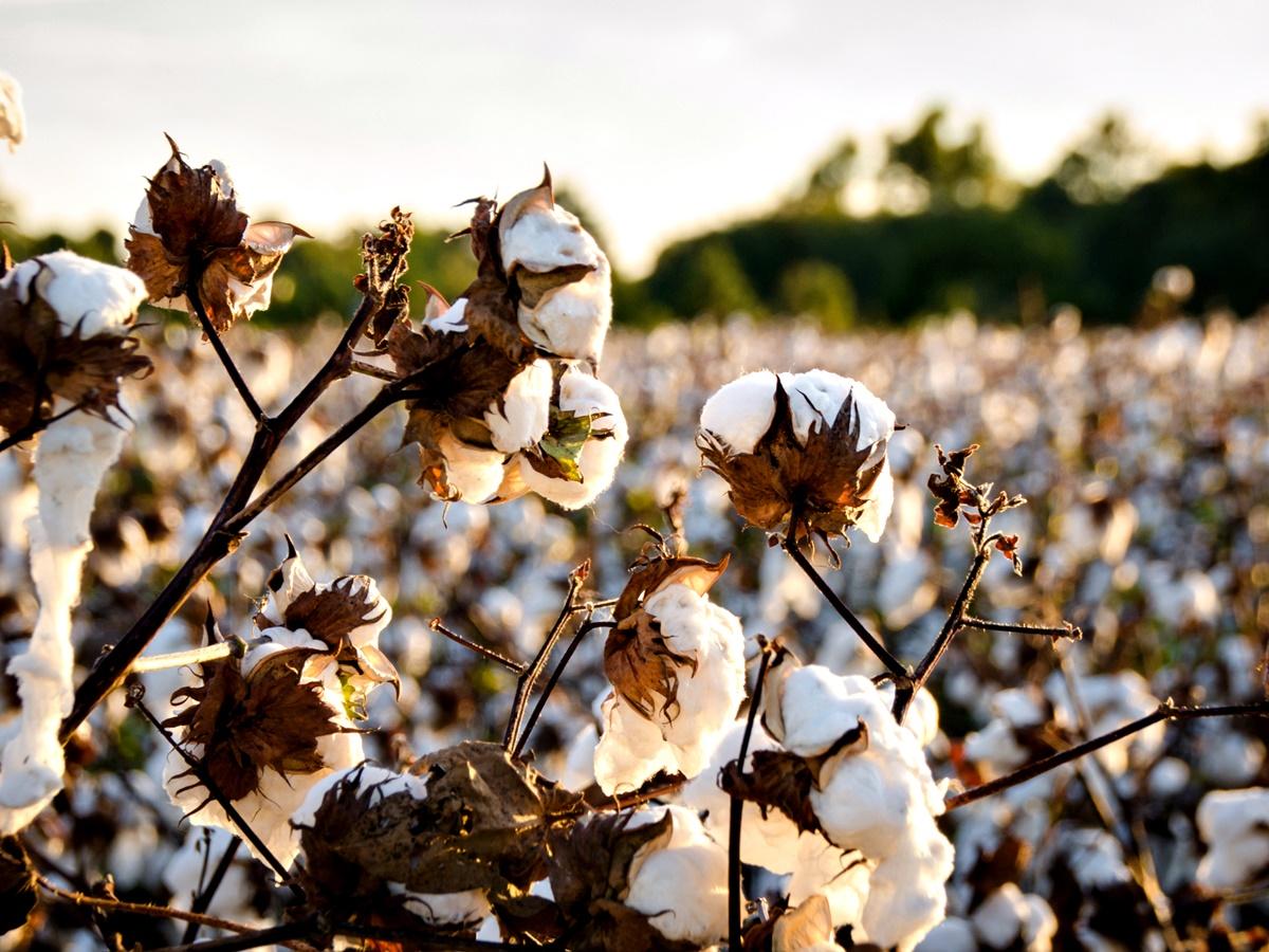 """Диета с памук<br /> Този """"хранителен"""" план е може би най-безумният от всички останали в списъка.<br /> Той става популярен през 2013 г. и наистина включва яденето на памук. И не – не захарен памук.<br /> Идеята зад диетата е, че памукът има ниско количество калории и запълва стомаха, постигайки чувство за ситост. Както може би се досещате, тази диета има редица минуси и… нито един плюс. Най-основният проблем е, че яденето на памук би нарушило нормалното храносмилане и би ни лишило от всички необходими вещества, които се съдържат в истинската храна."""