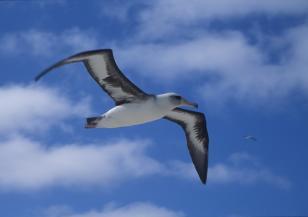 Рядък вид албатроси са застрашени от изчезване