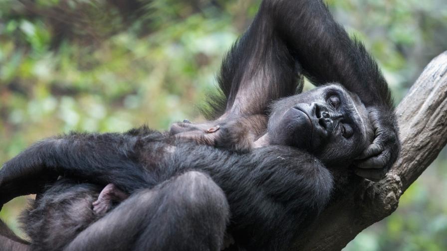 Видео с майка горила трогна мрежата