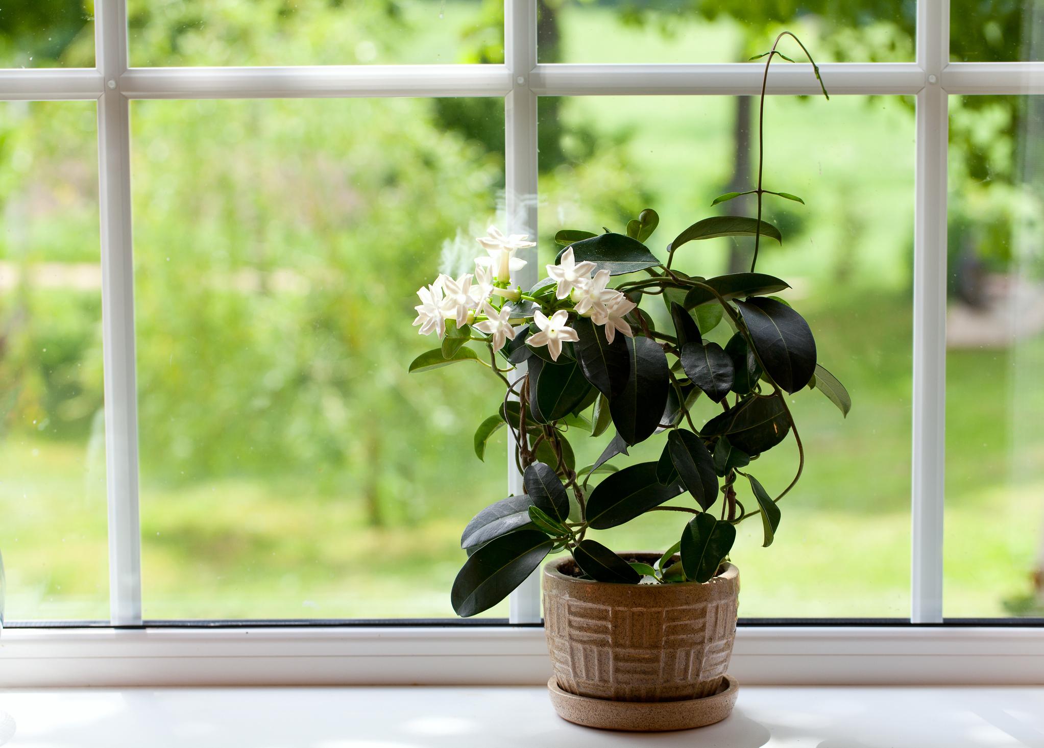 Жасмин: Това екзотично растение има лек, успокояващ ефект върху тялото и ума. Изследване доказва намаляване на нивата на тревожност, което неминуемо води до по-добро качество на съня. Освен това се повишава бдителността и производителността през деня.
