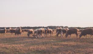 <p>Нова болест мори животни в Румъния</p>