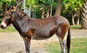 Роди се рядка кръстоска между магаре и зебра
