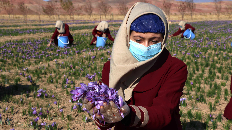 """Афганистанския шафран е признат за най-добрия в света в конкурса """"Superior Taste Awards"""" организиран от Международния институт по вкус и качество базиран в Брюксел."""
